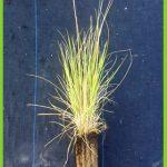 Brachypodium phoenicoides detalle