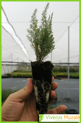 asparagus albus