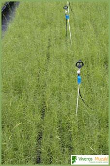 brachypodium retusum tabla