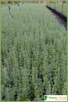 Dorycnium pentaphyllum tabla