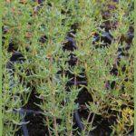 frankenia corymbosa