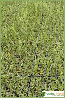 Genista spartioides