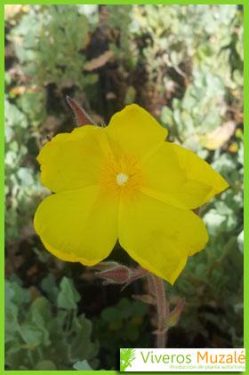 Halimium atriplicifolium flor