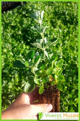 Halimium halimifolium detalle