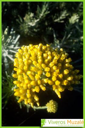 Helichrysum picardii flor