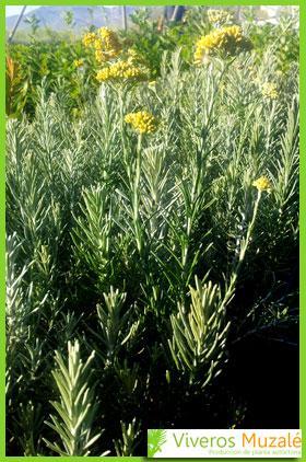 Helichrysum picardii