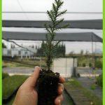 Juniperus thurifera detalle