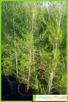 juniperus turbinata contenedor