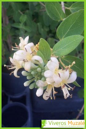 lonicera biflora flor
