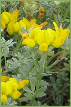 Lotus creticus flor