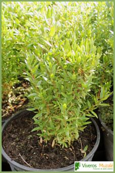 Myrtus communis contenedor