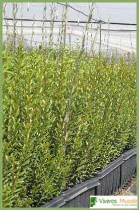 Myrtus communis tabla
