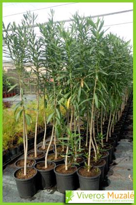 nerium oleander contenedor