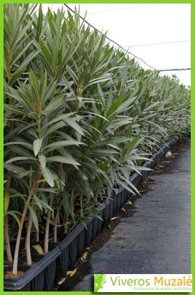 Nerium oleander contenedor2