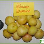 albaricoque damasco
