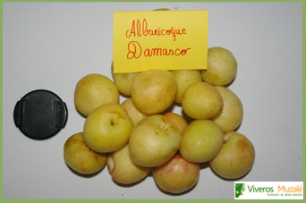 albaricoque damasco