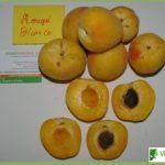 Prunus armeniaca Moniqui