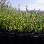 coriaria myrtifolia alveolo