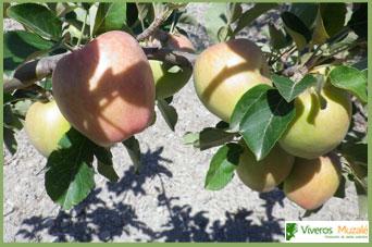 Manzano de Alguazas fruto