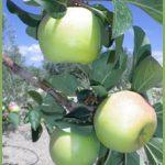 Manzano de la Cuesta de Gos
