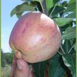 Manzano de la Era Alta