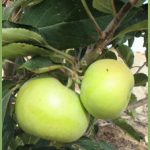 Manzano del Terreno