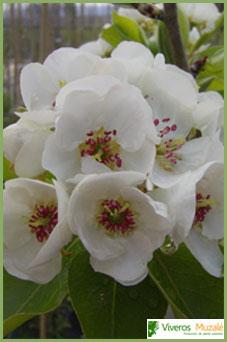 Pera Campesina flor