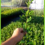 Quercus lusitanica 2