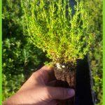 Thymus carnosus 2