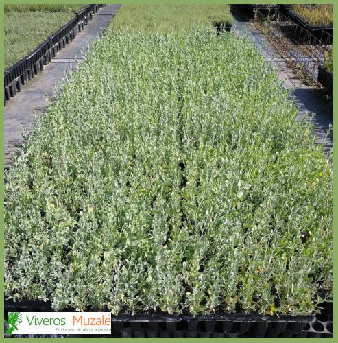 Anthyllis-cytisoides-(AF).1