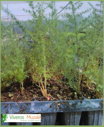 Asparagus-horridus