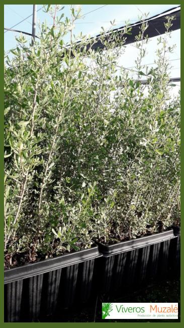 Rhus-pentaphylla-af.01