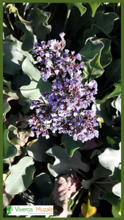 limonium-perezii-flor