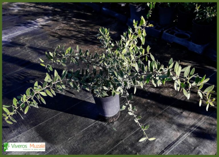 maytenus-senegalensis-cont