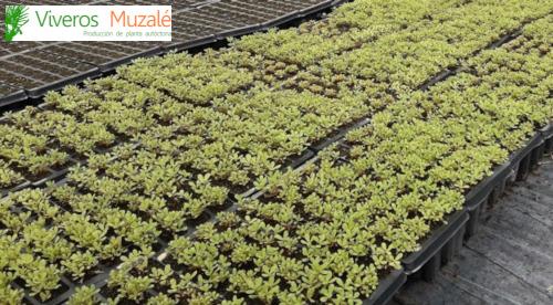 portulaca-oleracea-(af)