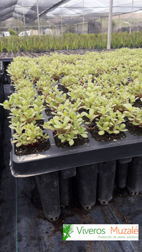 portulaca-oleracea-bandeja