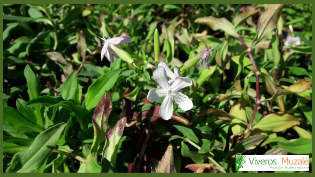 saponaria-officinalis-AF.001