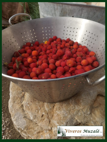 arbutus-unedo-fruto.002
