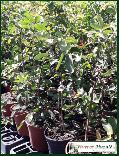 pistacia-terebintus.Cont.01