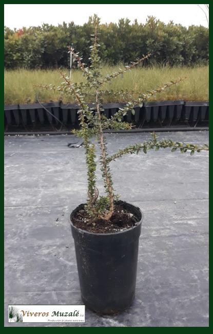 Argania-spinosa-cont-3.5l.002