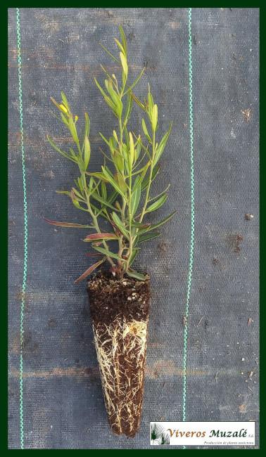 Cneorum-tricoccon-af-003
