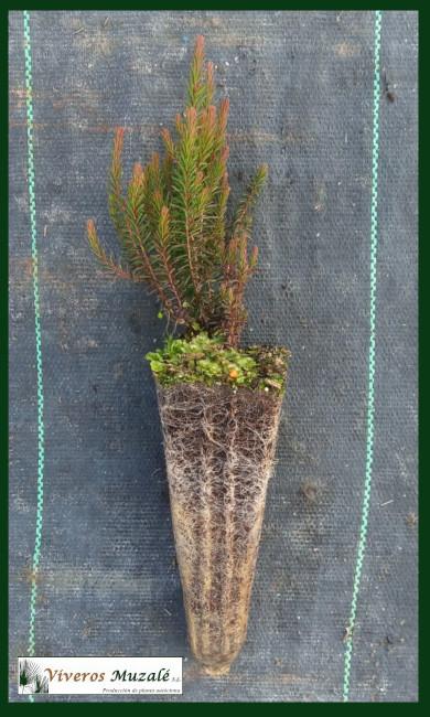 Erica-multiflora-af-001