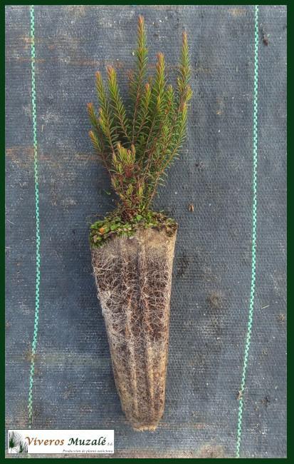 Erica-multiflora-af-002