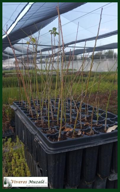 Prunus-domestica-insititia-af-001