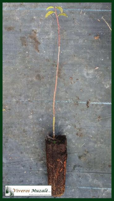 Prunus-domestica-insititia-af-002