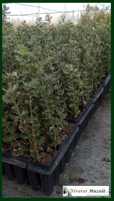 Quercus-ilex-af-002