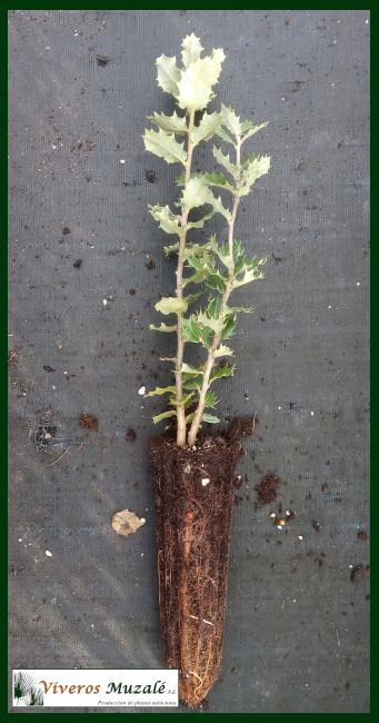 Quercus-ilex-af-003