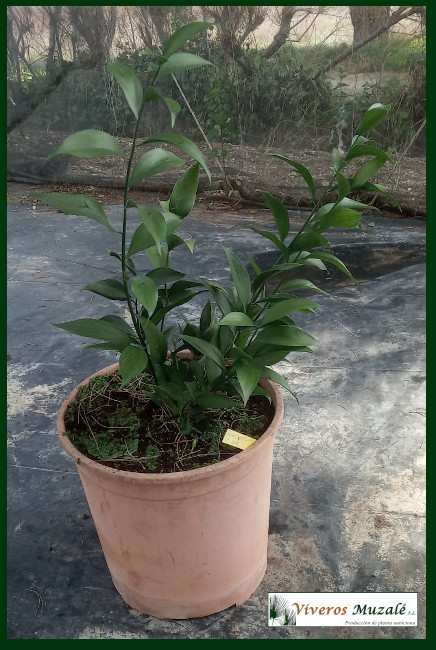 Ruscus-hypophyllum-cont--003