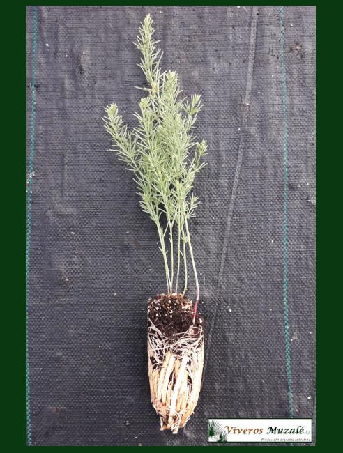 Asparagus macrorrhizus.001