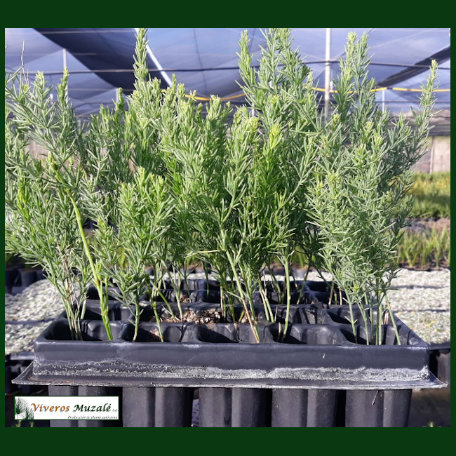 Asparagus macrorrhizus.002